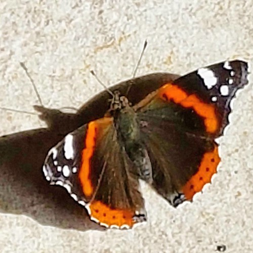 #farfalla #papillon #dragonfly