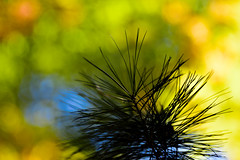 Pine Needles and Bokeh (WilliamND4) Tags: pine needles tree bokeh green nature outside meyeroptikgoerlitztrioplanf28100lens nikon d810