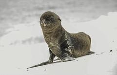 Zalophus wollebaeki (puliarf) Tags: zalophuswollebaeki sealion baby beach espaola whitesand