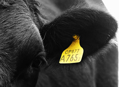No Name... Numbers ( expressing emotions ) Tags: animals cow vacas animales