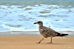 As en la arena... (ZAP.M) Tags: gaciota orilla playa mar naturaleza nature beach bolonia cdiz andaluca espaa zapm mpazdelcerro flickr nikon nikond5300 ave