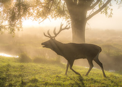 Deer in the mist (Colin_Evans) Tags: richmond park london england uk capital deer stag antlers rut dawn mist fog daybreak sunrise