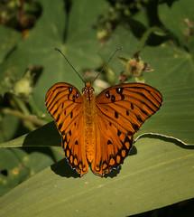 Gulf Frittilary (agilityfoot) Tags: 2016 butterfly ga insect augusta gulffritillary phinzyswamp