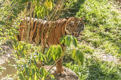 Joanne (ToddLahman) Tags: joanne tigers tiger tigertrail sandiegozoosafaripark safaripark canon7dmkii canon canon100400 exhibitc