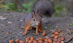Food for squirrel. Photo taken with 50.0 mm lens! (L.Lahtinen (nature photography)) Tags: squirrel 50mm redsquirrel furry funny food acorns orava eläin kurre nature nikond3200 nikkor luonto autumn wildlife cute adorable suomi finland suloinen söpö larissadatsha fauna pretty dof depthoffield happysquirrel flickr fluffy fellow posingforaphoto naturephotography europe
