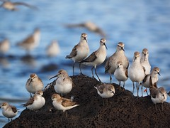 Curlew sandpipers, red knot and red-necked stints (Hone Morihana) Tags: westerntreatmentplant shorebirds migratorybirds curlew sandpiper