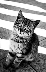 Quick shot of a cute street cat (Chacky) Tags: cat animal art animals kitten cats blackandwhite bw black ukraine lviv street urban monochrome canon canon600d filtercanon closeup cute katzen  babycat baby amature photoshop photography contrast