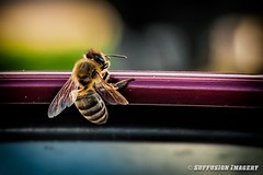 09-24-2015_18.41.05--D700-155-device-2000-wm (iSuffusion) Tags: d700 tampa tokina100mm28macro bees florida insects macro nikon gibsonton unitedstates us