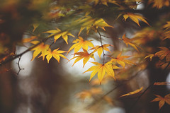 Season of change (Tammy Schild) Tags: leaves japanesemaple yellow orange autumn fall tree branch nature november season