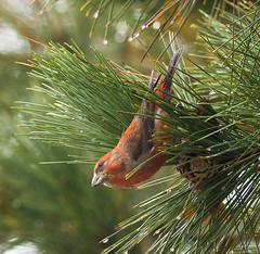 Crazy Crossbills (Wild Birdy) Tags: bird crossbill mn minnesota laporte usa aba forest tree boreal finch red pine pinecone wet rain bokeh cute crazy crossbills kabekona november beak avian winter