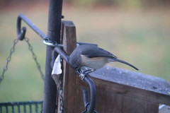 Tufted Titmouse at my Feeder on a Fall Day (Saline Michigan) (cseeman) Tags: tuftedtitmouse fall feeder birds michigan saline backyard titmouse11272016