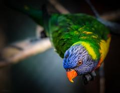 Lori (Stphane Slo) Tags: france lori pentax pentaxk3ii printemps rhne rhnealpes animal nature oiseaux parcdesoiseaux proxi villarslesdombes