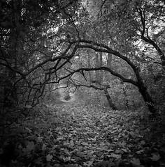 Into the woods (Karl Johan) Tags: sweden sverige malm limhamn skne hasselblad500cm hasselblad 500cm 6x6 mf mediumformat fujineopanacros fuji neopan acros film analog blackandwhite blackwhite rodinal bw ishootfilm epsonv600 epson v600 bwfp monochrome classicblackwhite distagon504fle distagon 504 fle cf 120 outdoor leaves fall autumn tree trees forest wood