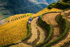 Harvesting season - La Pan Tan, Yen Bai - Northwest Viet Nam (trai_thang1211) Tags: vietnam northwest taybac hanoi rice ricefield fields field terracefield terracedfield mountain landscape moutainscape green yellow curve outdoor