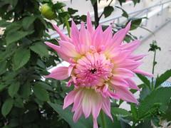 Dalien (t1p2m3) Tags: dahlien flower fleur hell rosa farbe pink