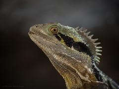 Waterdragon (Petra Ries Images) Tags: kodakcineektanon102mmf27 waterdragon australische wasseragame reptil tier wildtier agame dragon vintagelens