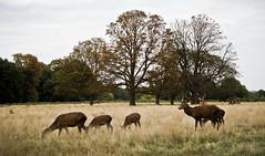 The Deer of Richmond Park (CNorth2) Tags: deer stag reddeer doe herd meadow trees uk richmondpark england outdoor autumn fall