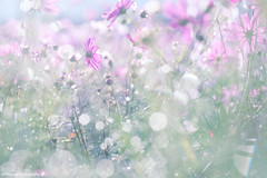 Lots of morning drop (SYU*2) Tags: cosmos color landscape flower cute beautiful colors scenery love nikon flowers pastel d800 nature nikoor pink 90mm japan  light