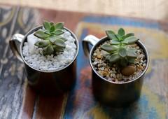 Terrário Caneca (Mandacaru Terrários) Tags: terrários terrarios terrario caneca suculentas succulents cactos cactus