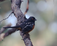 Spotted Towhee (Tom Clifton) Tags: pointlobos birding