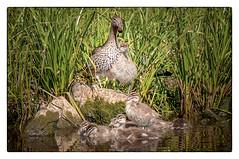 We are family _DSC0910- (BlueberryAsh) Tags: craigieburn malcomecreek birds duck woodduck family ducklings tamron150600 wildlife australianbird animals bird babies