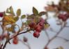 Rosehips_0646 (Mike Head - Jetwashphotos) Tags: flowerseeds rosehips plant bush crescentbeach surrey bc britishcolumbia canada westerncanada westernregion autumn fall autumnseason