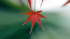 Maple Leaf (Johnnie Shene Photography(Thanks, 2Million+ Views)) Tags: maple leaf leafs leaves autumn fall plant depthoffield photography horizontal outdoor colourimage fragility freshness nopeople foregroundfocus adjustment bottomview interesting awe wonder fulllength macro closeup magnified telephoto red brown nature natural wild wildlife livingorganism tranquility tranquilscene lighteffect bright luminosity canon eos600d rebelt3i kissx5 sigma 1770mm f284 dc lens 단풍 단풍잎 잎 가을