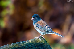 Portrait of Dark Eyed Junco (T.ye) Tags: bird wild life portrait fall small contrast dark eyed junco todd ye