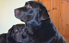 """""""Please Sir, I want some more.."""" (Michael C. Hall) Tags: labrador chocolate hungry"""