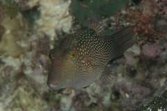Honeycomb Toby (maractwin) Tags: canthigasterjanthinoptera fiji gau honeycombtoby nigalipassage scuba easterndivision fj