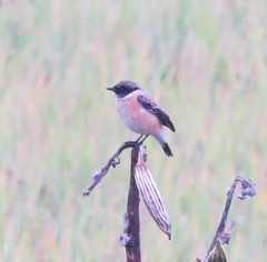 Siberian or White-tailed Stonechat? (tom_2014) Tags: bird birds stonechat id unidentified myanmar burma species chat saxicola inle inlelake lake asia asianbirds asian flycatcher wild wildlife ecology nature shan shanstate passerine