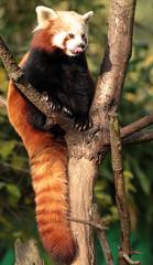 red panda Ouwehands JN6A6450 (j.a.kok) Tags: panda rodepanda redpanda kleinepanda ouwehands ouwehandsdierenpark ouwehandszoo mammal zoogdier china azia asia