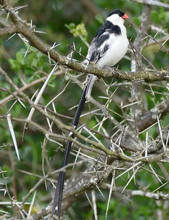Pin-tailed Whydah (Vidua macroura) male