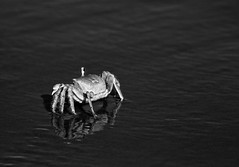 Portrait of a Crab (ND Wind Twins) Tags: padreisland texas 116picturesin2016 116pictures97 crab