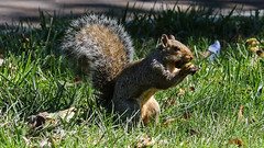 Happy Thanksgiving! (Lawrence OP) Tags: squirrel nut eating capitol hill
