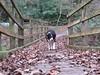 6324 Max on the footbridge in Coed Aberlleiniog (Andy - Busyyyyyyyyy) Tags: 20161105 aaa aberlleiniog bbb black ccc colliedog ddd dog fff footpath forest max mmm