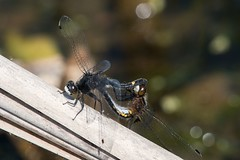 2016 Dot-tailed Whiteface Dragonflies Mating (Leucorrhinia intacta) (DrLensCap) Tags: dottailed whiteface dragonflies mating leucorrhinia intacta moraine hills state park mchenry illinois il bug ionsect dragonfly dragon fly robert kramer