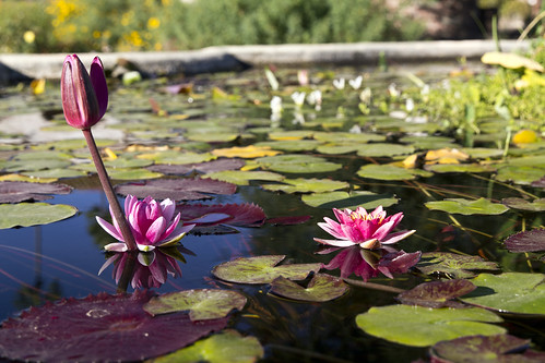 Waterlilly in pond 5