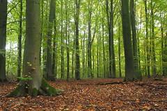 Waterloopbos, Kraggenburg (Gerrit Veldman) Tags: waterloopbos kraggenburg noordoostpolder flevoland nederland netherlands bos forest natuur nature natuurmonumenten natuurgebied herfst autumn bomen trees