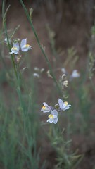 Linaire rampante ou strie (passionpapillon) Tags: macro nature natura naturazela flowers fiori fior flor passionpapillon linaire fleurs