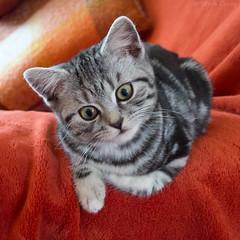 Quizzical Ted! (od0man) Tags: teddy cat kitten britishshorthair silvertabby domestic feline explore
