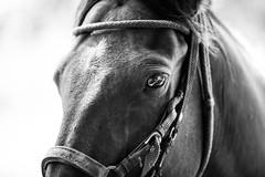 El actor (danielserrano66) Tags: blancoynegro contrast caballos animals blackandwhitephotography blackwhite eye