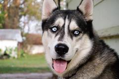 _DSC0457 (jc7narud) Tags: sony a6000 sonya6000 husky dog perrito mascota