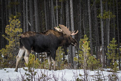 North American Moose (Turk Images) Tags: alcesalces borealwoods jaspernationalpark mountainparks northamericanungulates northamericanmoose alberta cervidae deer mammals fall mountains woodlands