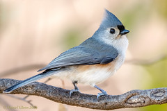 Tufted Titmouse (Baeolophus bicolor) (danielusescanon) Tags: wild tuftedtitmouse baeolophusbicolor passeriformes paridae profile perched birdperfect animalplanet maryland