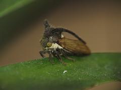 Horned Treehopper (Shaikh Gaffar) Tags: insects treehopper macro mumbai india ngc
