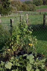 Tomatoes (III) (dididumm) Tags: autumn fall garden green harvest harvesttime tomato tomatoes solanumlycopersicum tomaten tomat erntezeit ernte grün garten herbst