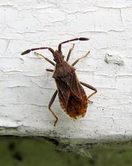 Coriomerus denticulatus - Milford, Surrey 2014 (Steven Falk) Tags: steven falk leatherbug coriomeris denticulatus denticulate
