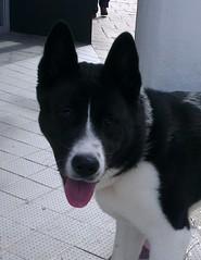 Akira (Moldovia) Tags: cameraphone blackandwhite dog pet face animal japan japanese blackwhite canine akira akita pedigree htc htconex