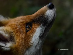 Jungfuchs 2 (Mritz Nationalpark) (Sakerfalke) Tags: rotfuchs mritznationalpark jungfuchs sakerfalkefotografie